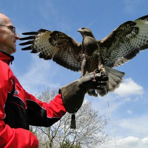 Customer with Common Buzzard