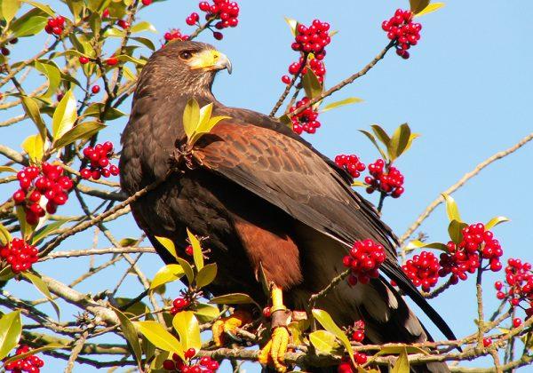 Harris Hawk in tree with red berries