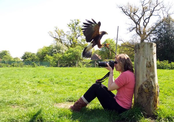 Woman taking photo of Harris Hawk flying over her head to land on stump