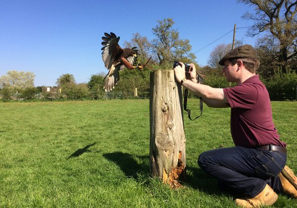 Man taking photo of Harris Hawk coming in to land on a stump