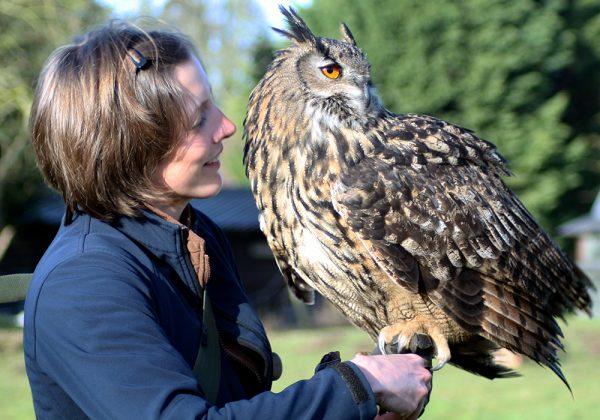 Falconer holding European Eagle Owl