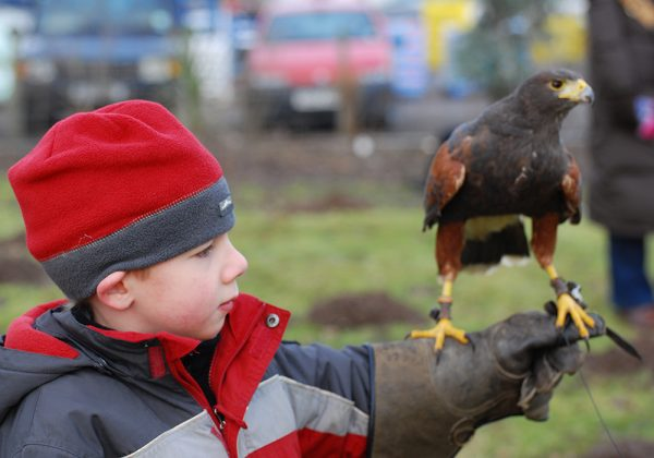 Child holding Harris Hawk