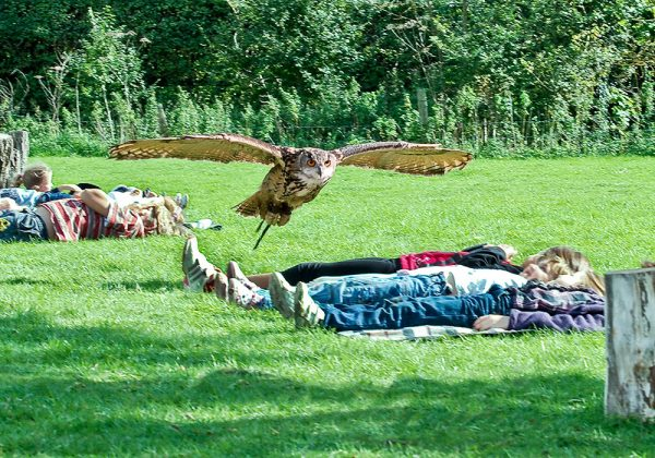 European Eagle Owl flying over children laying on the grass