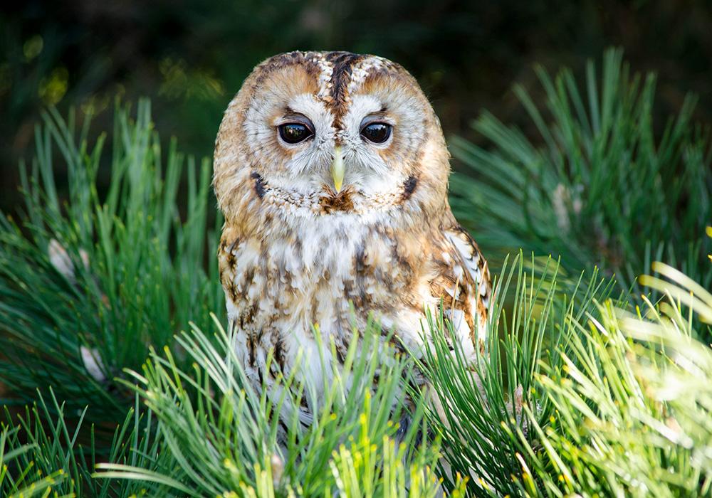Tawny Owl - Ash