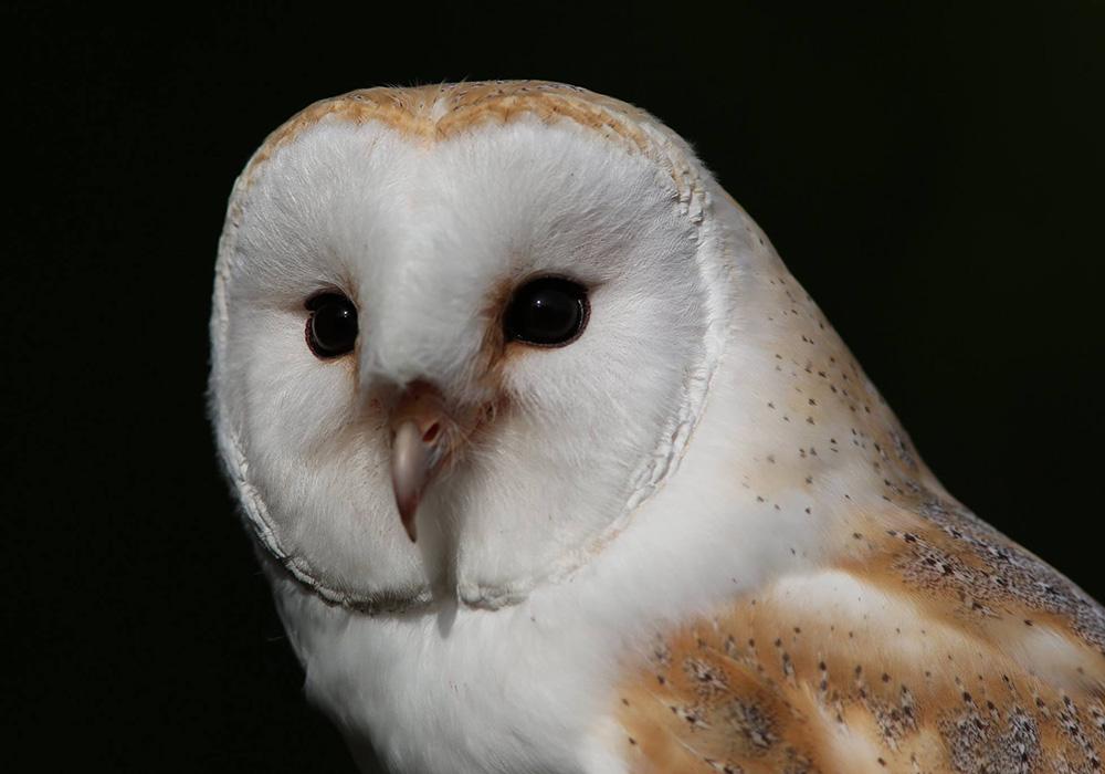 Barn Owl - Baily