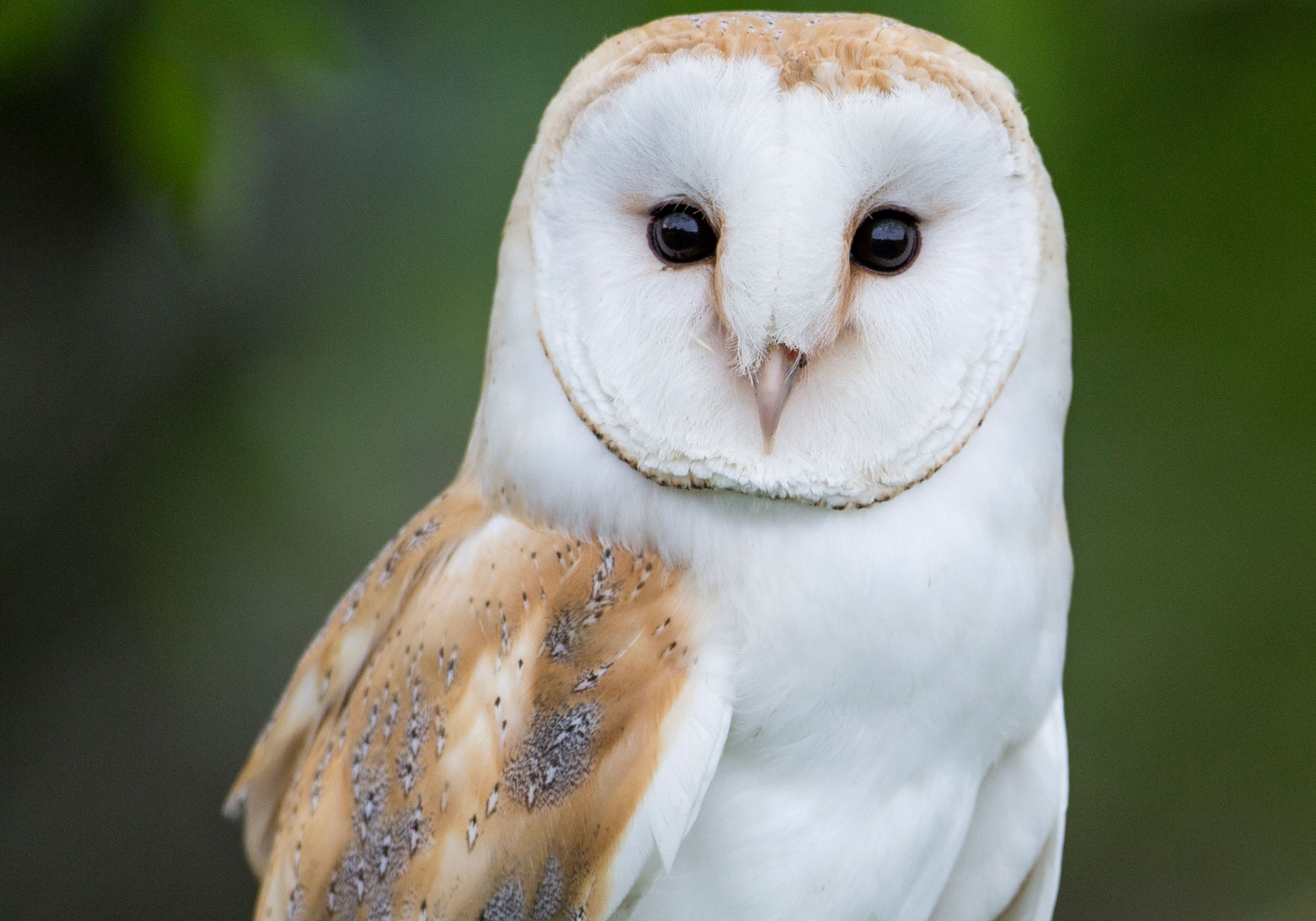 Barn Owl - Bert