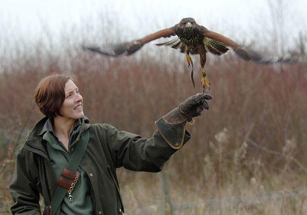 Falconer flying Harris Hawk