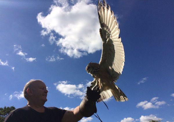 Customer flying Indian Eagle Owl