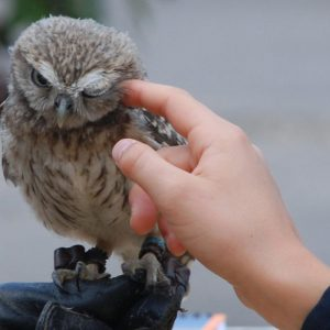 Baby Little Owl on the glove being stroked