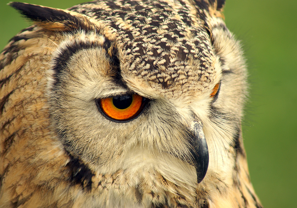 Indian Eagle Owl - Charlie