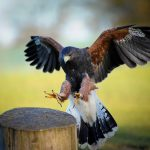 Harris Hawk - Echo