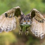 European Eagle Owl - Billie Jean
