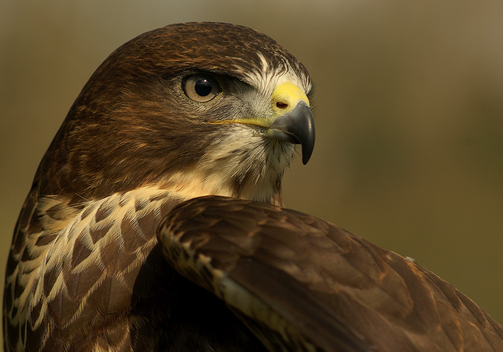 Common Buzzard - Mouse