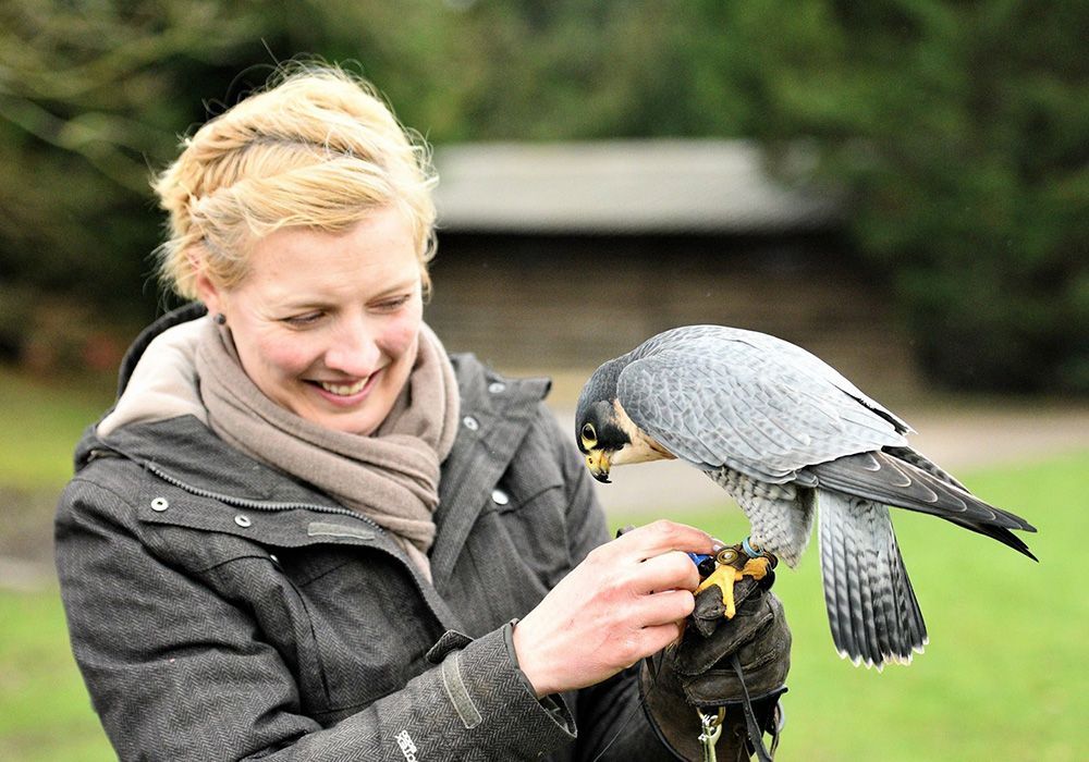 Peregrine Falcon - Acer with Sadie