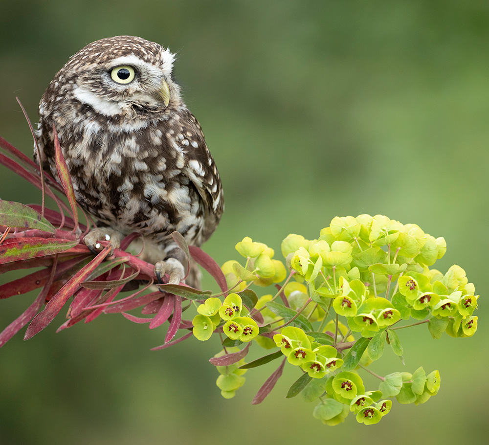 Little Owl on wood spurge