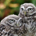 Little Owls - Pip & Squeak