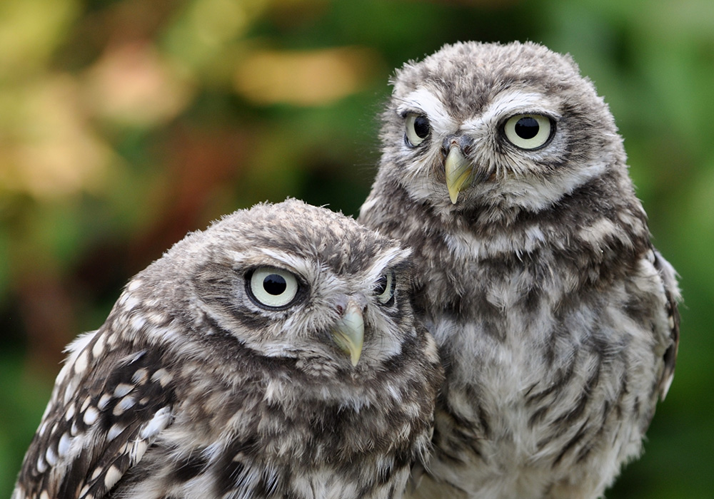 Little Owls - Pip & Squeak