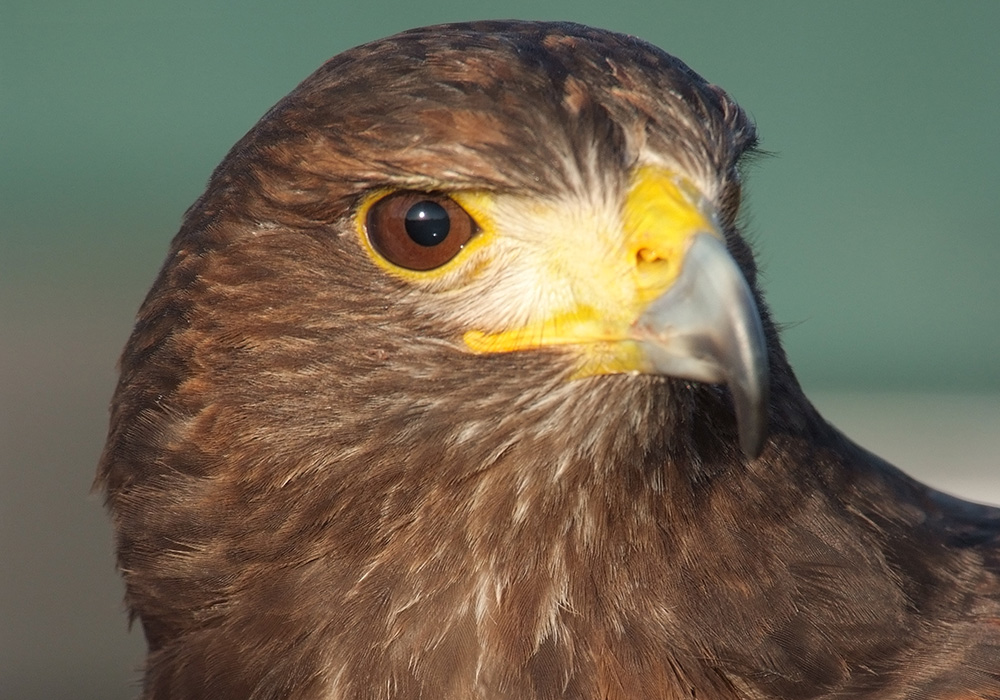 Harris Hawk - Sam