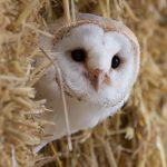Barn Owl - Wiggy