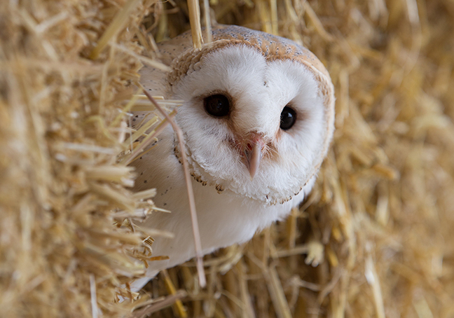Barn Owl - Wiggy