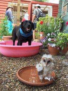 Baby Barn owl and dog having a bath