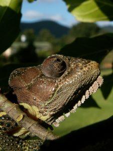 Chameleon in tree