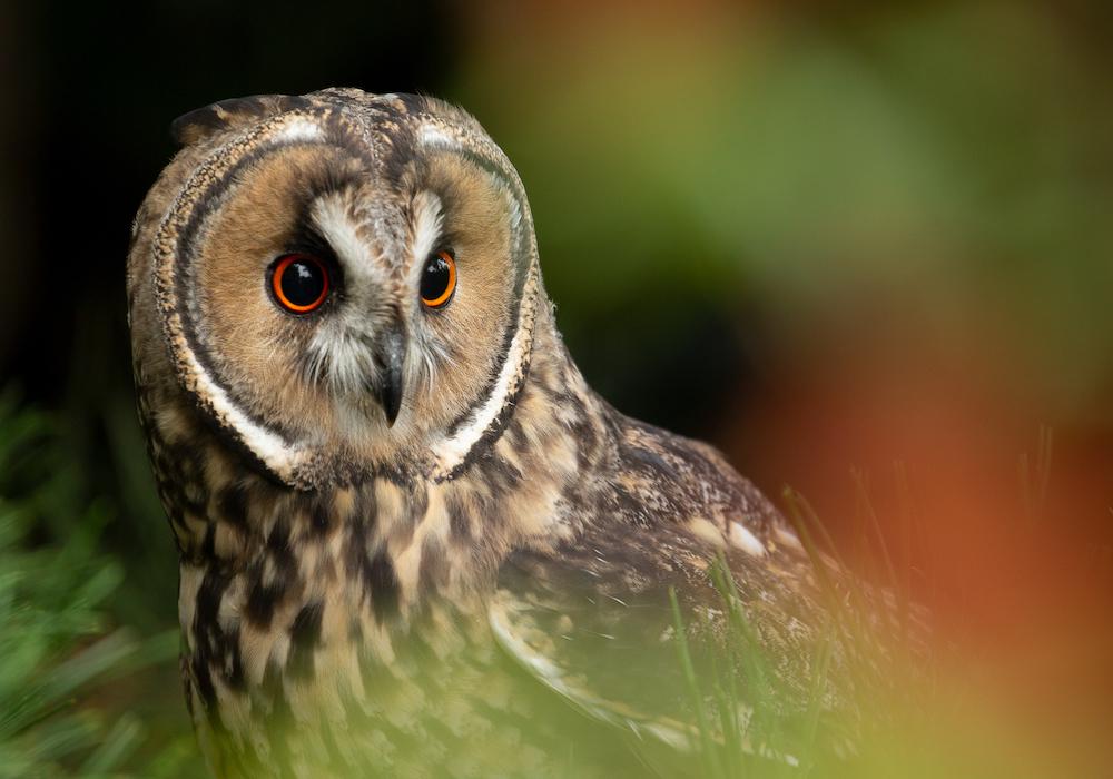 Long-eared Owl - Amos