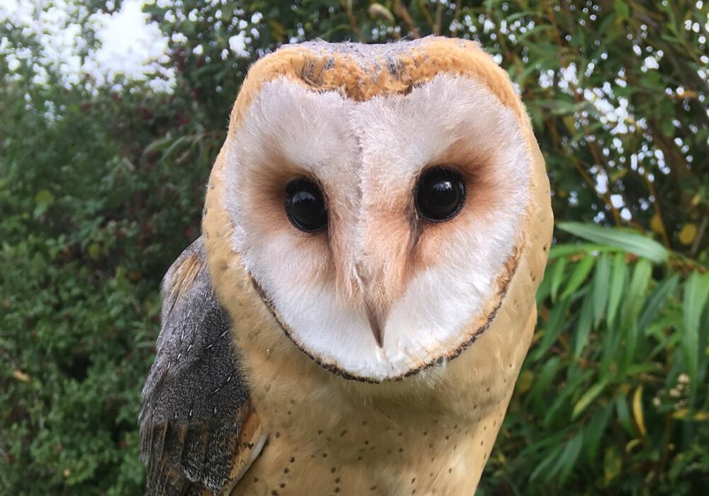 Dar-breasted Barn Owl - Dobby