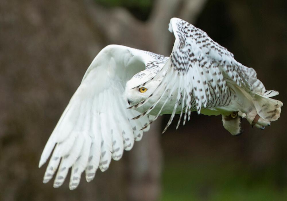 Snowy Owl - Gimli