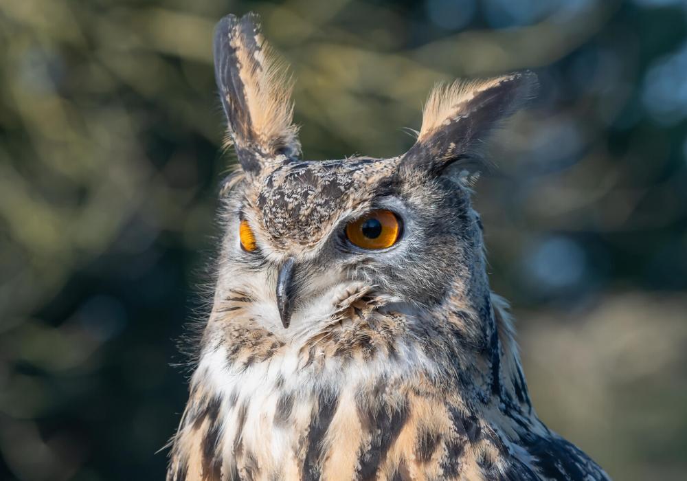 European Eagle Owl - Norman