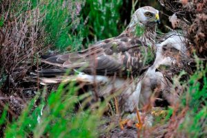 Hen harrier on nest